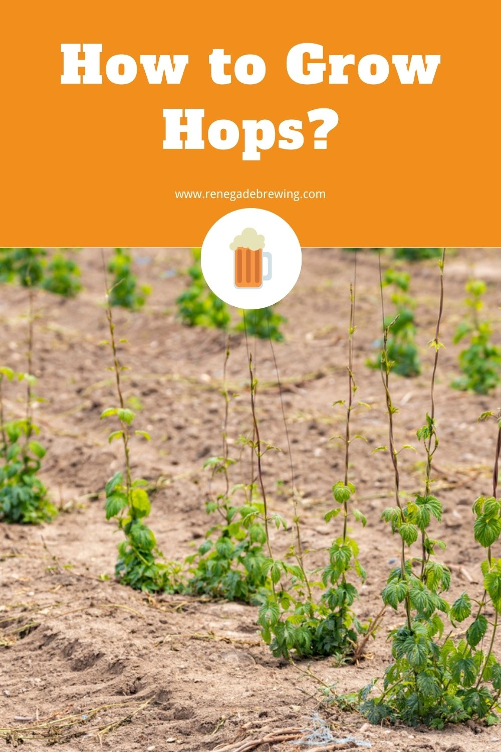 How to Grow Hops (Tips & Complete Guides) 1