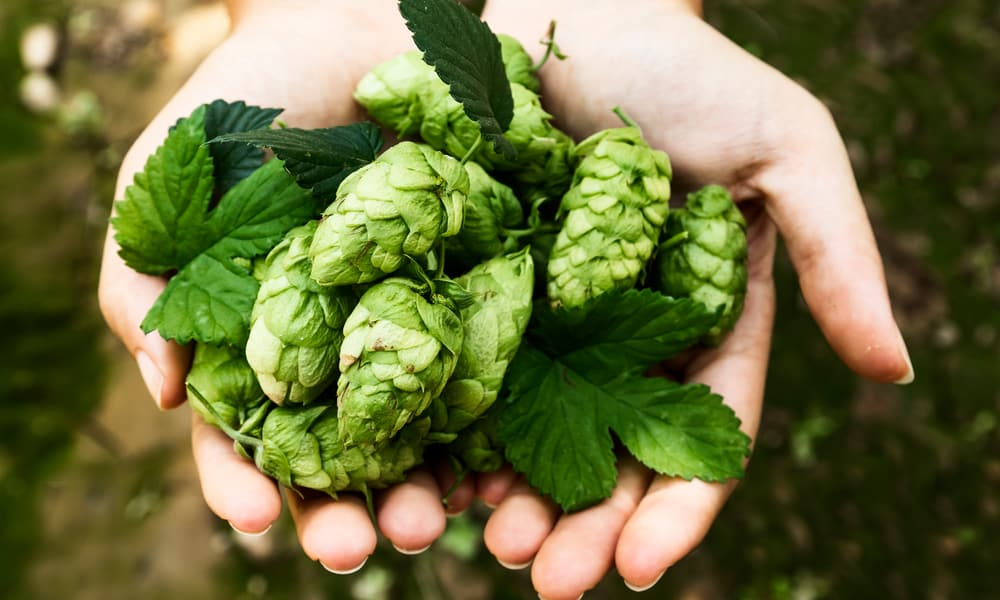 What are hops