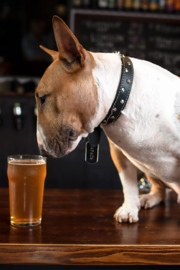 Beer Ingredients Toxic for Dogs