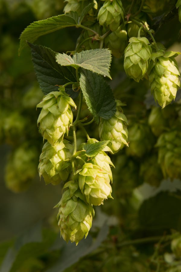 Noble (continental) hops
