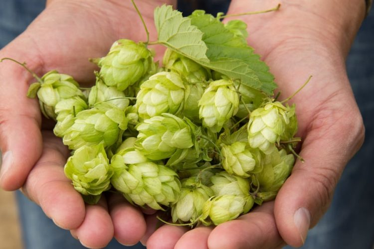What Are Hops In Beer? (Why Add It?)