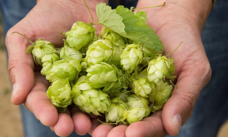 What Are Hops In Beer (Why Add It)